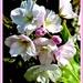 Flowering cherry  by beryl