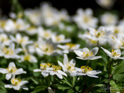 22nd Apr 2018 - The anemones in our garden