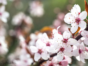 29th Apr 2018 - Black Cherry Plum