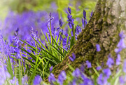 29th Apr 2018 - Bluebell Wood