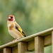 Goldfinch by rjb71