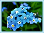 30th Apr 2018 - Forget-me-not .