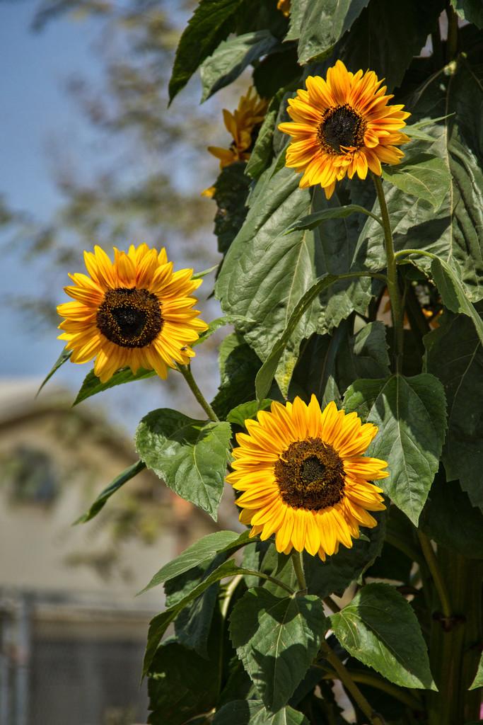 Sunflowers by jaybutterfield