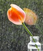 30th Apr 2018 - Tulip-in-window - by Tina