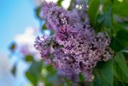 30th Apr 2018 - Lilac