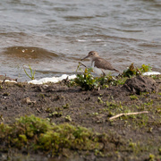 24th Apr 2018 - Common Sandpiper