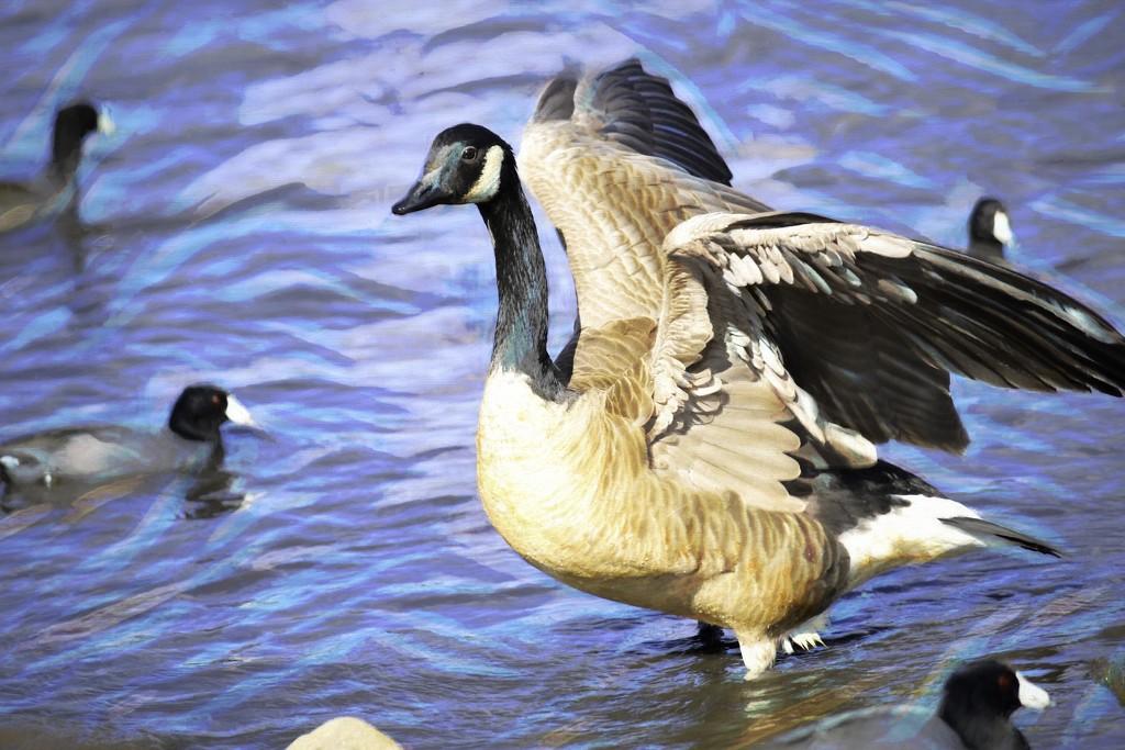 Goose by joysfocus