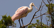 30th Apr 2018 - Roseate Spoonbill Watching Over Things!