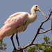 Roseate Spoonbill Watching Over Things! by rickster549