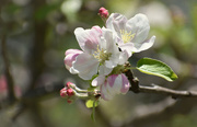 1st May 2018 - Apple Blossom