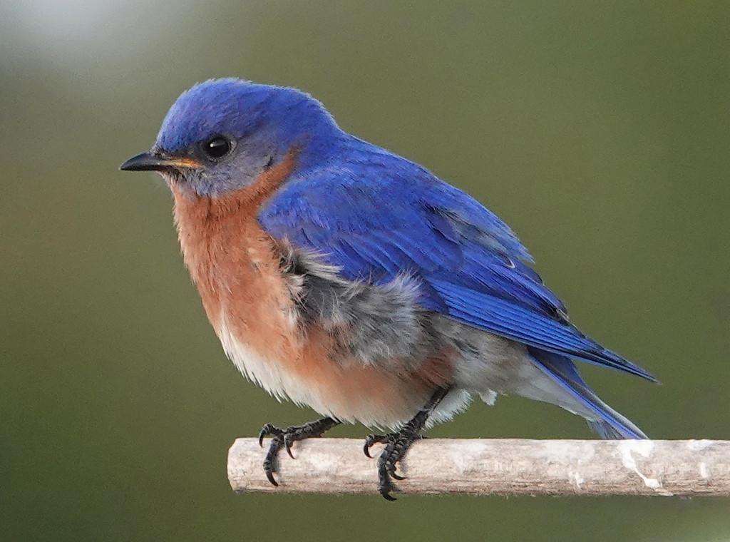 Male Eastern Bluebird by annepann