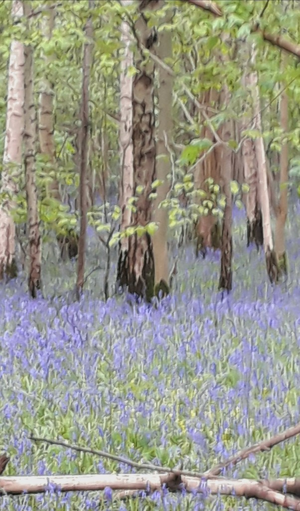 Waresley Woods at bluebell time by mave