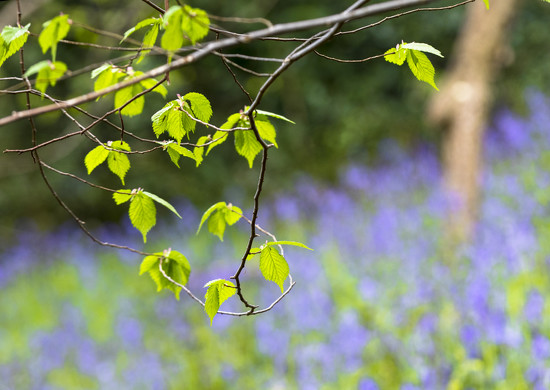 Amongst the Bluebells by shepherdmanswife