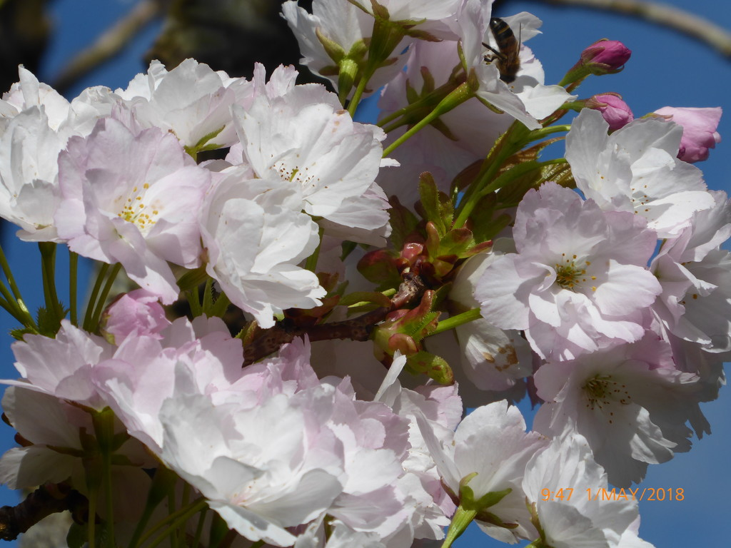 May blossom ... by snowy