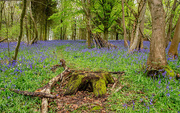 1st May 2018 - More and More Bluebells