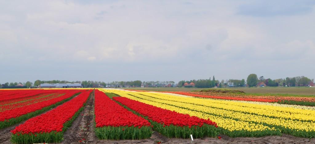 tulips by gijsje