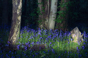 2nd May 2018 - Bluebells by Night