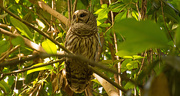1st May 2018 - Barred Owl on the Trail!