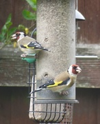 1st May 2018 - Goldfinches at Lunch