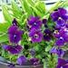 Violas and hostas  by beryl