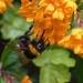 BEE FEEDING ON BERBERIS