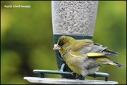 2nd May 2018 - I hope this isn't a poorly greenfinch