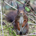 Native Red Squirrel by pcoulson
