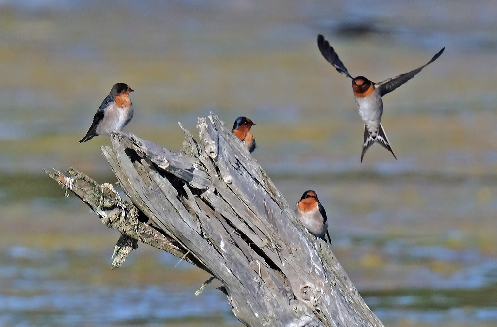 Welcome swallows' perch by maureenpp