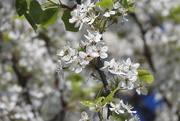 29th Apr 2018 - Spring buds