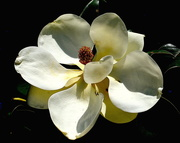 3rd May 2018 - Flower of the Southern Magnolia tree