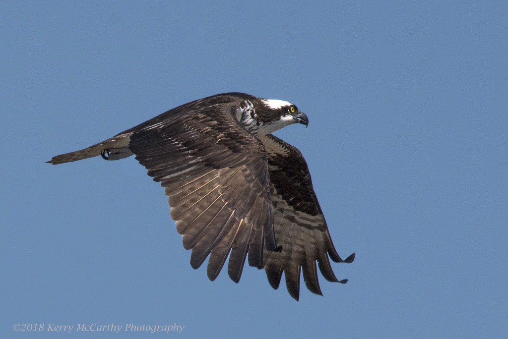 Osprey by mccarth1
