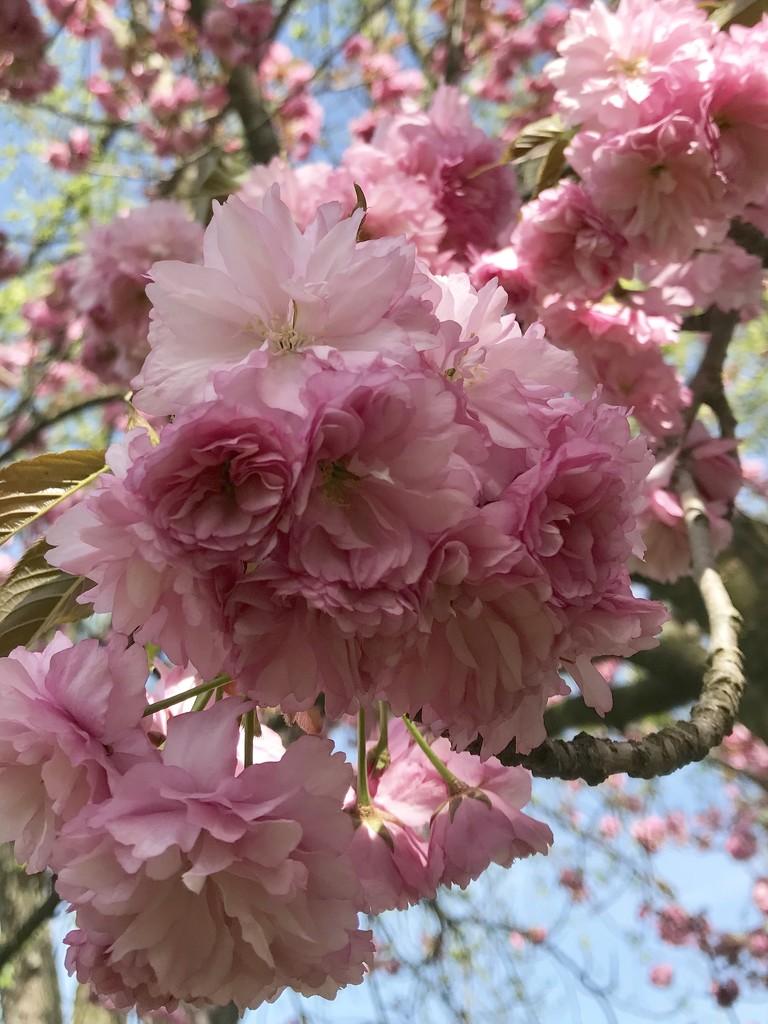 Kwanzan Cherry  by beckyk365