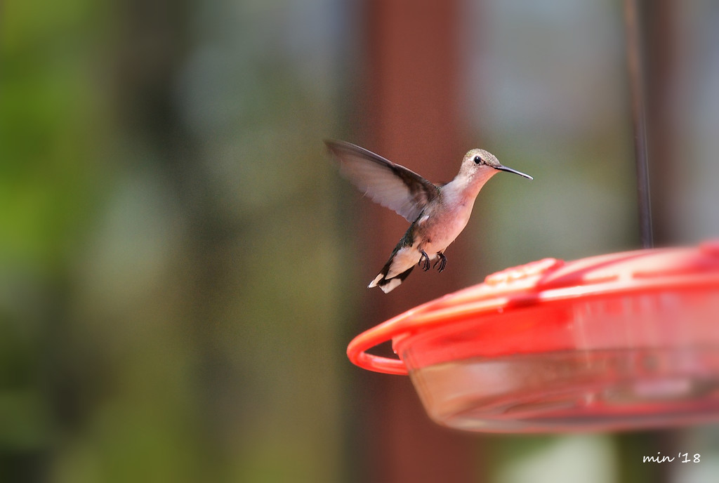 First Hummingbird Sighting 2018 by mhei