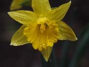 3rd May 2018 - Yellow Daffodil