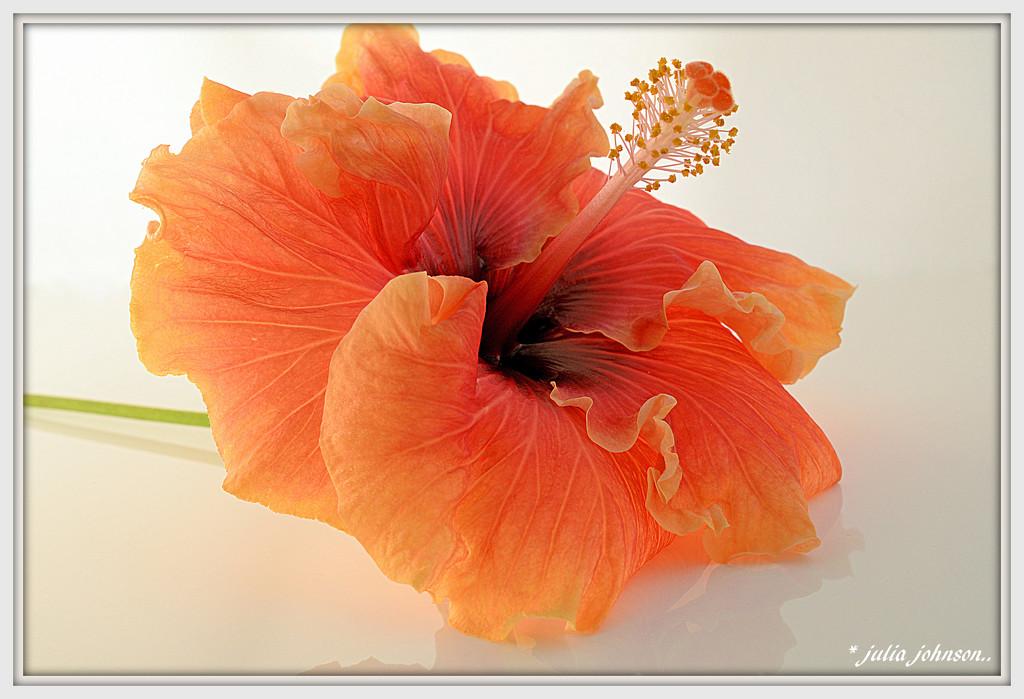 Hibiscus by julzmaioro
