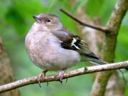 3rd May 2018 - Female Chaffinch