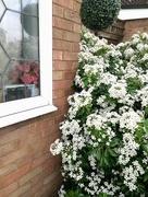4th May 2018 - Choisia hedge