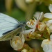 GREEN - VEINED WHITE FEEDING by markp