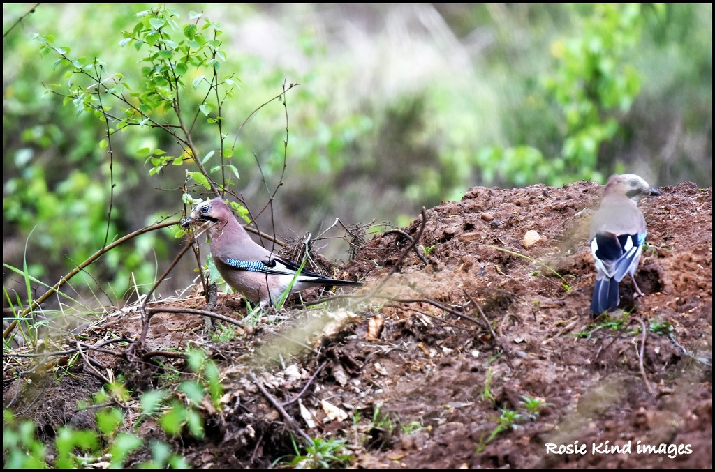 A pair of Jays by rosiekind
