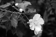5th May 2018 - White Wild Rose B and W