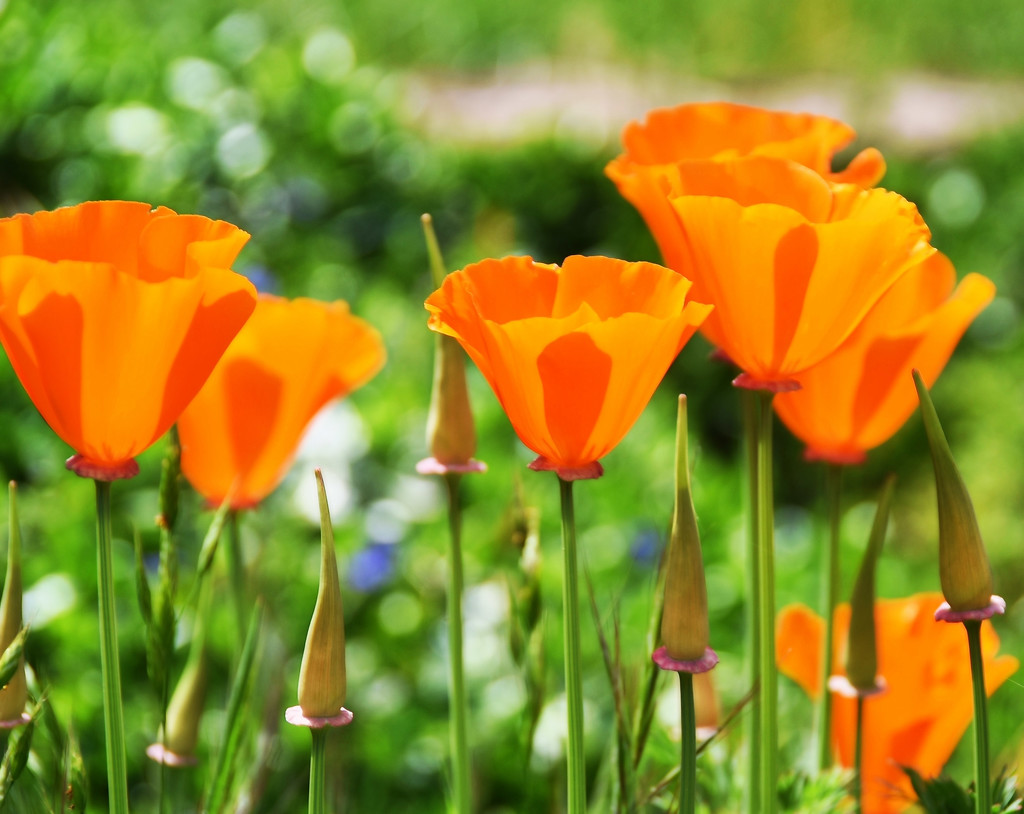 Poppies and Pods by joysfocus
