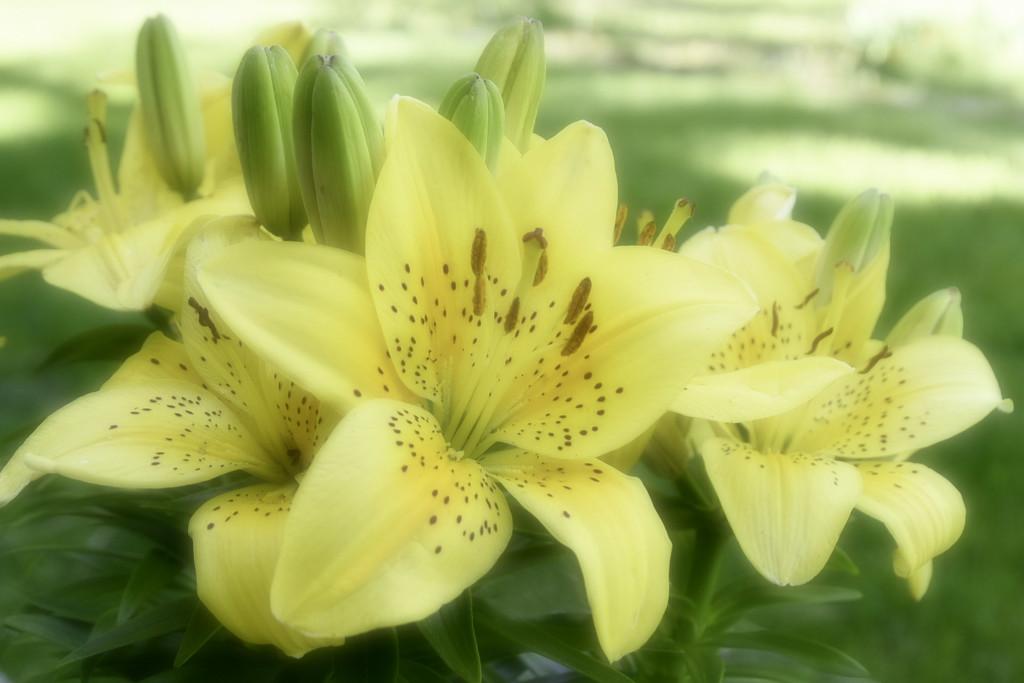 Golden Joy Asiatic Lilly by joysfocus