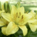 Golden Joy Asiatic Lilly