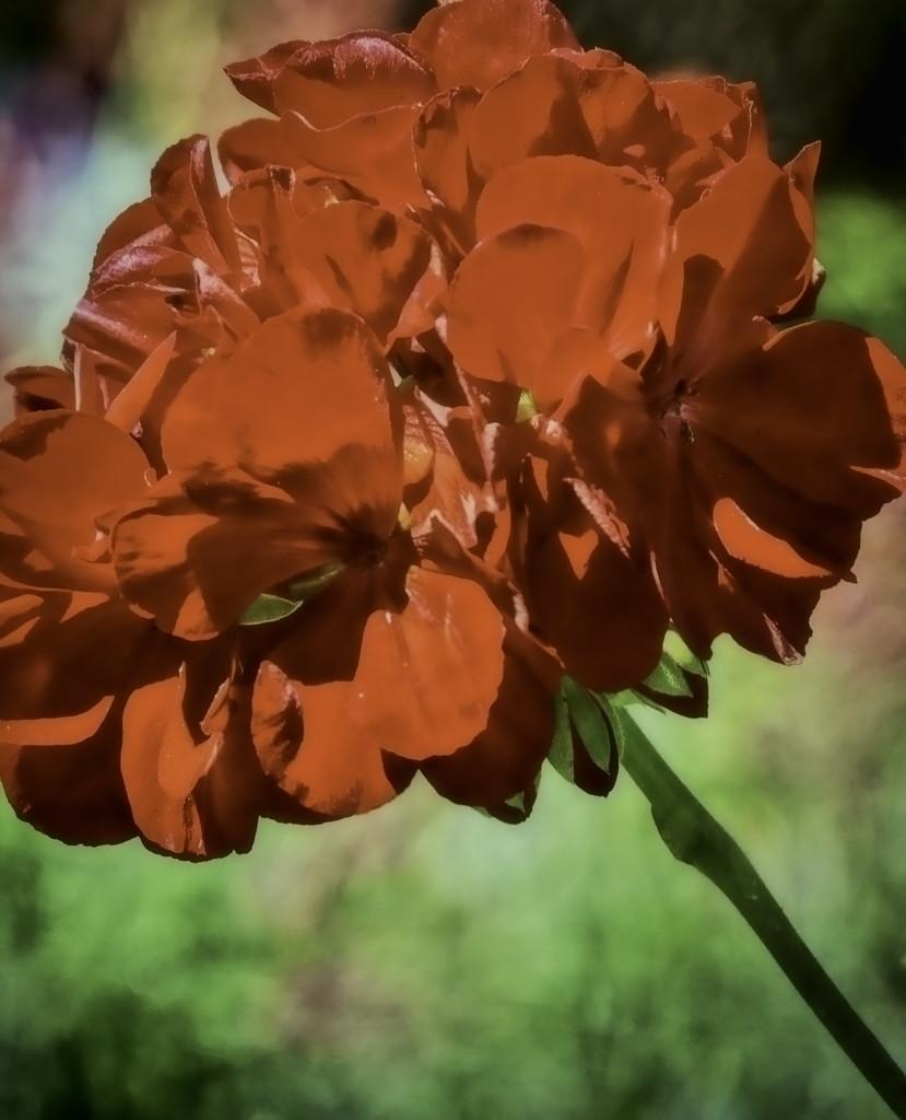 Geranium by joysfocus