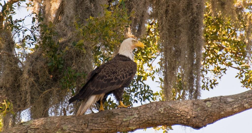 Bald Eagle Walking the Limb! by rickster549
