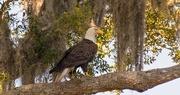 4th May 2018 - Bald Eagle Walking the Limb!