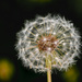 Dandelion Clock by yorkshirekiwi