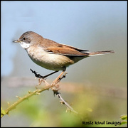 5th May 2018 - Whitethroat along Wood Lane