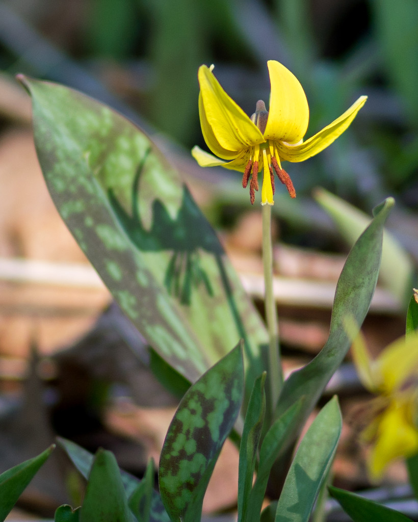 Yellow Trout Lily with Shadow by rminer