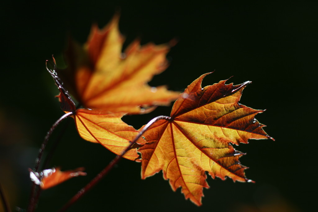 Golden veins by gaf005